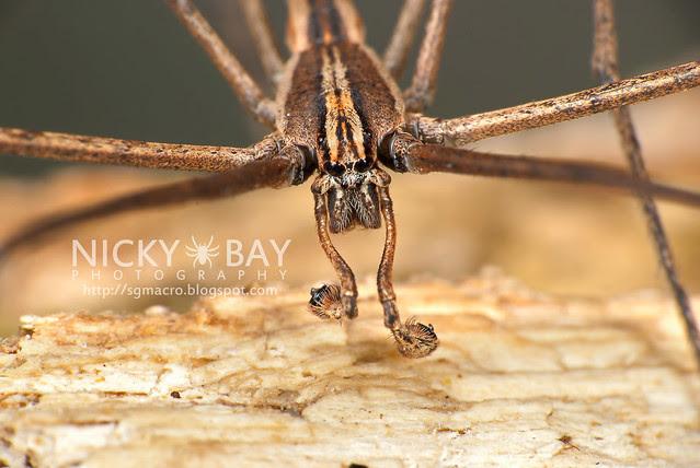 Net-Casting Spider (Deinopidae) - DSC_6123