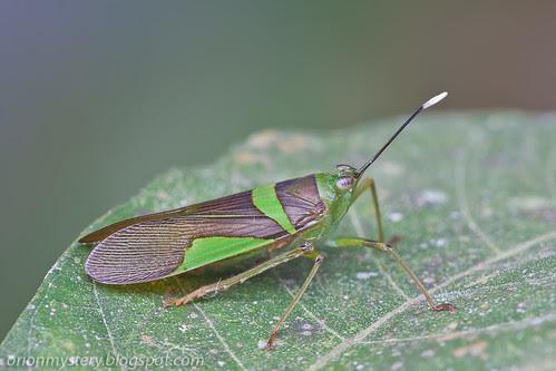 lanternfly Samsama chersonesia IMG_5204 copy