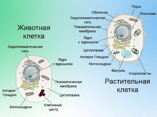 Ответы@Mail.Ru: сравнения строения клеток животных и растений. Общие признаки строения