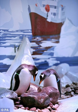 High hopes: Staff at the London Aquarium are optimistic that the penguins will successfully breed
