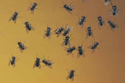 Resultado de imagem para moscas fotos