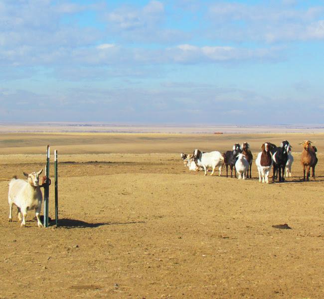 Farm goats waiting