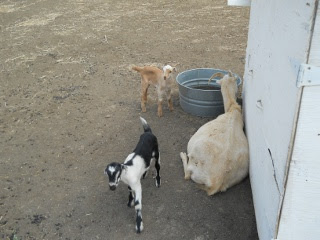 New Goat Kid Does Adeline and Nellie Next to Winnie