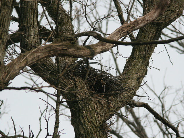 Coopers Hawk Nest 20100319