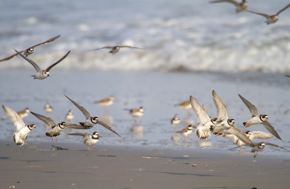 SemiPalmatedPlovers