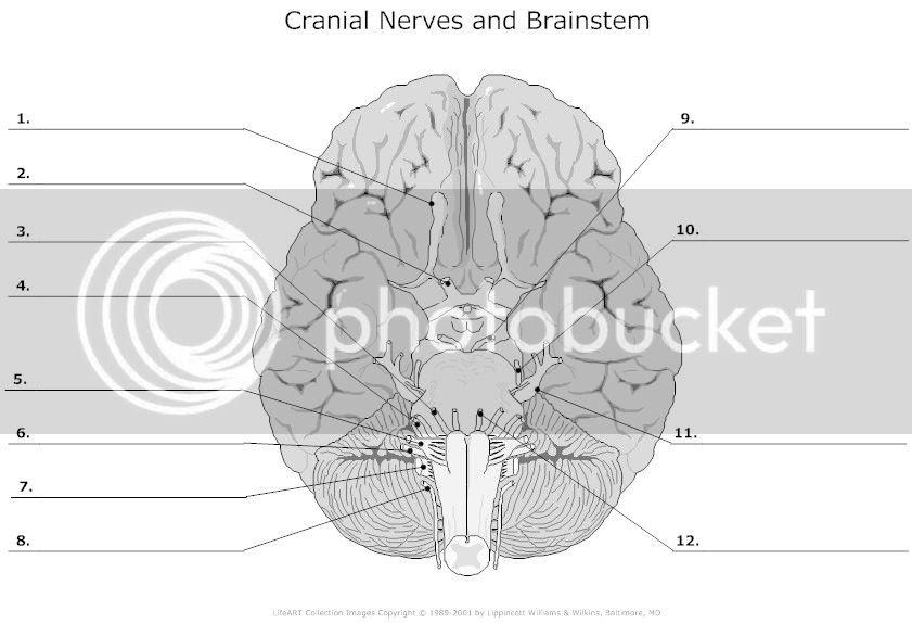 cranial_nerves_and_brainstem_unlabeled_l_zps1ff70257