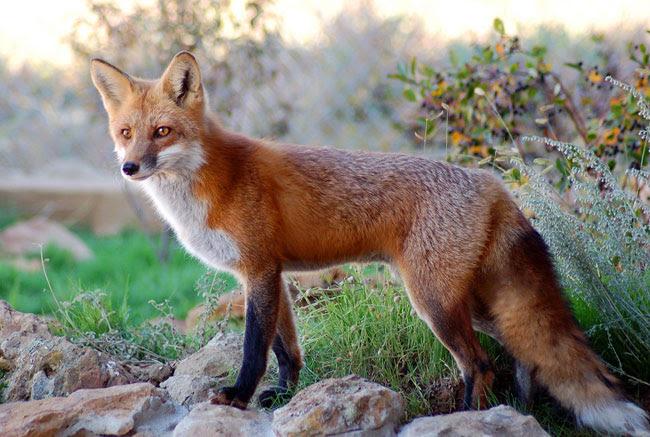 Ξεκινά το Σάββατο 1η Απριλίου ο εναέριος δολωματικός εμβολιασμός των κόκκινων αλεπούδων