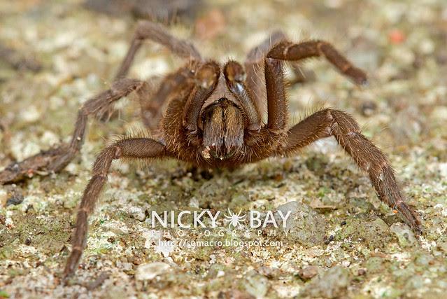 Tarantula (Phlogiellus inermis) - DSC_6974