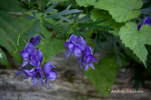 Monkshood (Aconitum napellus).jpg