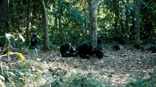 A group of chimpanzees cracking nuts with stones (Credit: Bernard Walton/NPL)