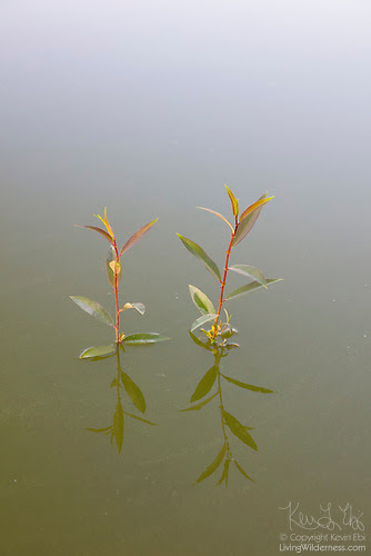 Willow Sprouts, Levee Pond