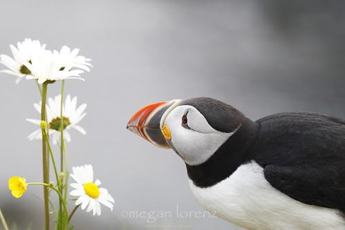 The Romantic Puffin by Megan Lorenz