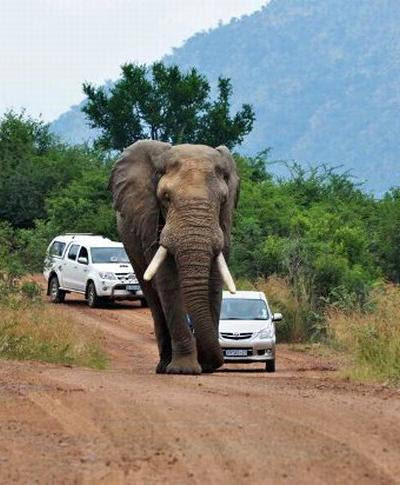The elephant turned the car with travelers Elephants considered innocent animals, but nevertheless, each year from attacks of elephants killed 300-500 people in the world.  Particularly aggressive males in the mating season.