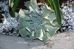 Detail of unknown xeriscape plant