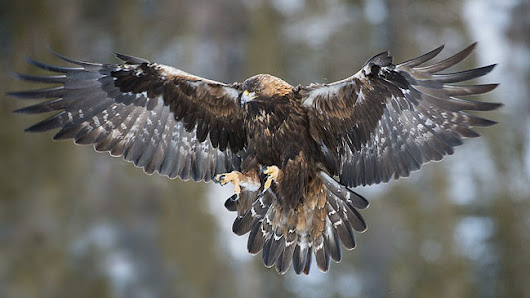 Norwegian Parliament gives green light to pilot project to trap golden eagle