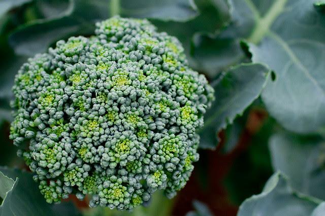 last of the summer broccoli