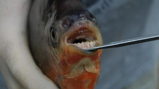 'Vegetarian piranhas' with human-like teeth found in Michigan lakes | Fox News
