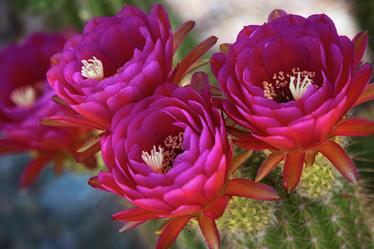 Torch Cactus In Hot Pink  by Saija Lehtonen