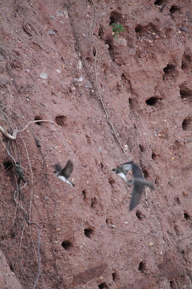 CliffSwallows