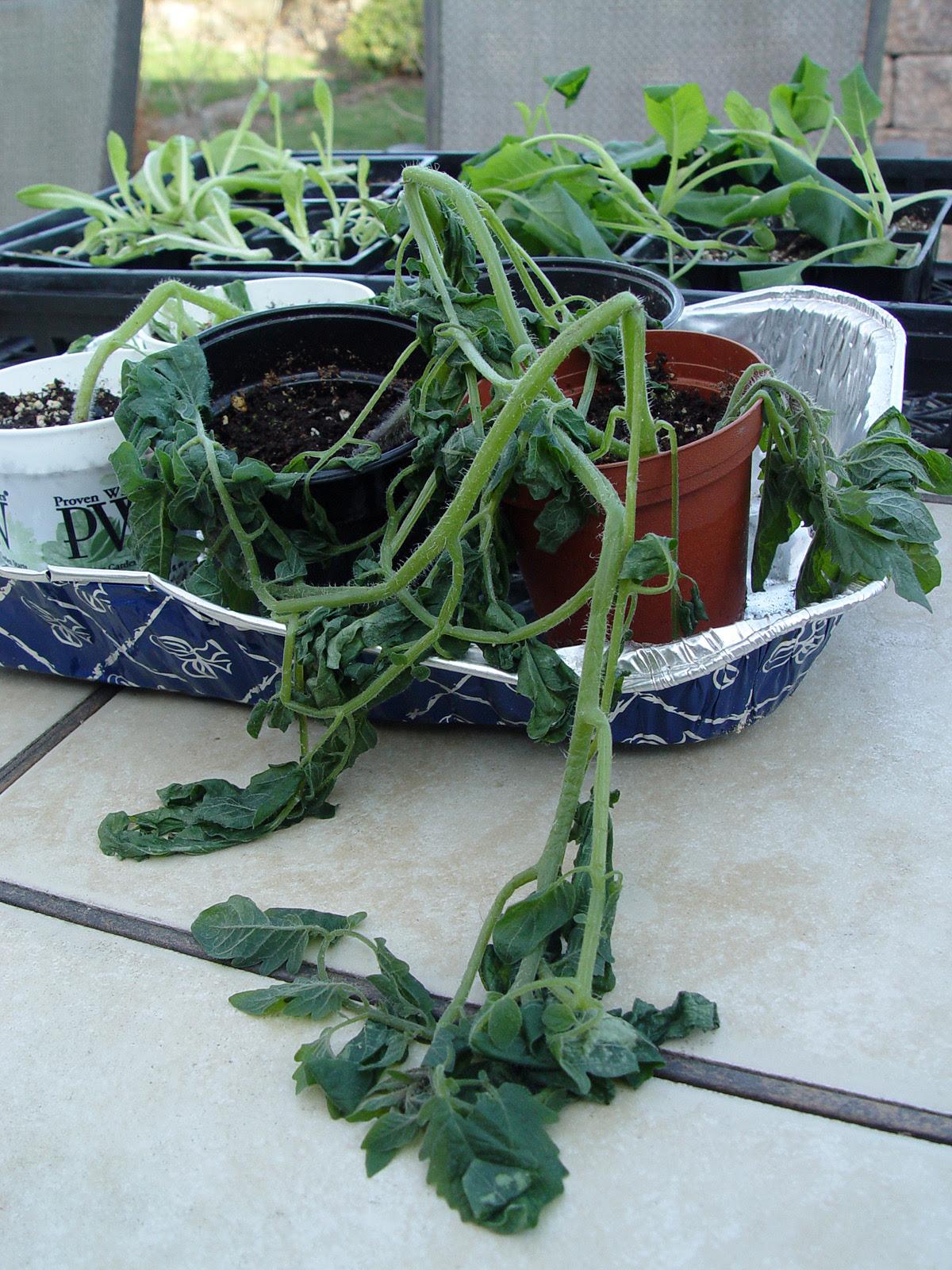 tomato.seedlings.frozen.jpg (1200×1600)