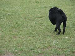 Three legged pug