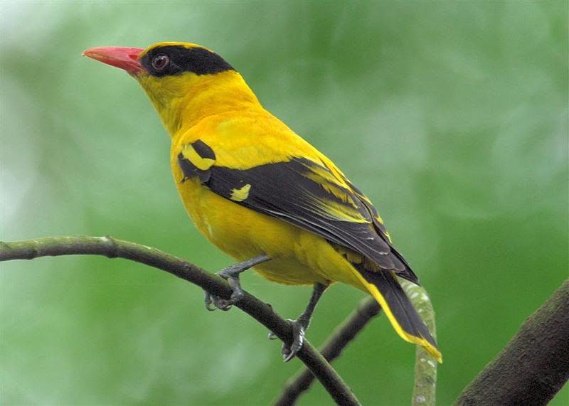 File:Black-naped Oriole.jpg
