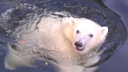 Playful Polar Bear Will Warm Your Heart | AOL.com