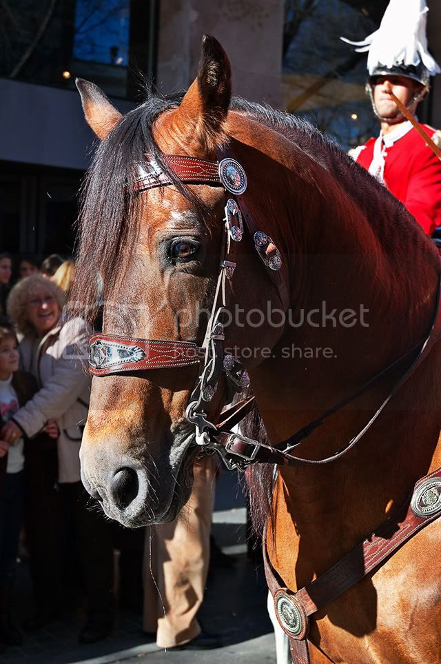 Horse Closeup At Tres Tombs Parade, Sant Andreu, Barcelona [enlarge]