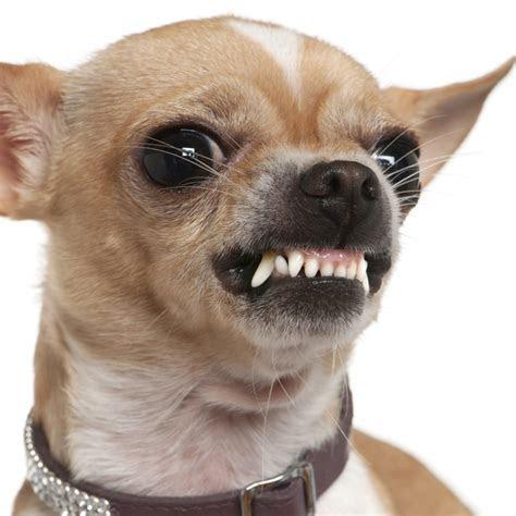 Chihuahua Aggression