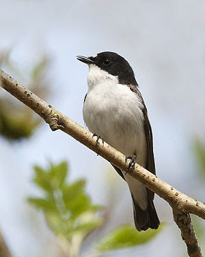 A male Pied Flycatcher at Wood of Cree Nature ...