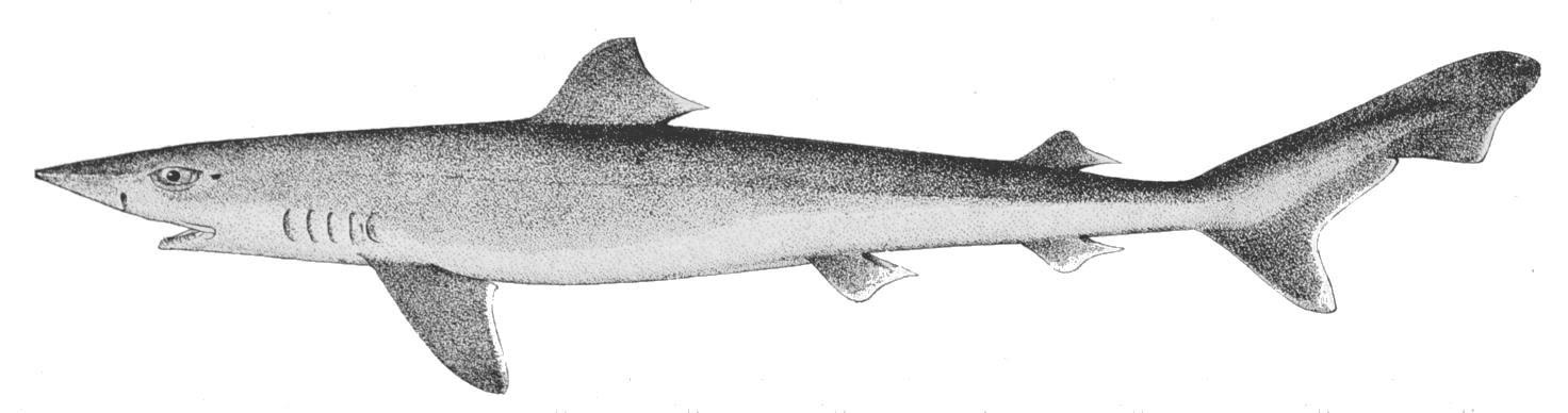 Hundshai - Galeorhinus galeus