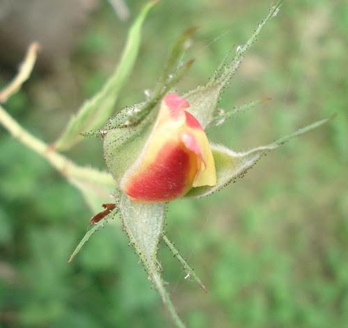 senses. backyard roses. {hear}