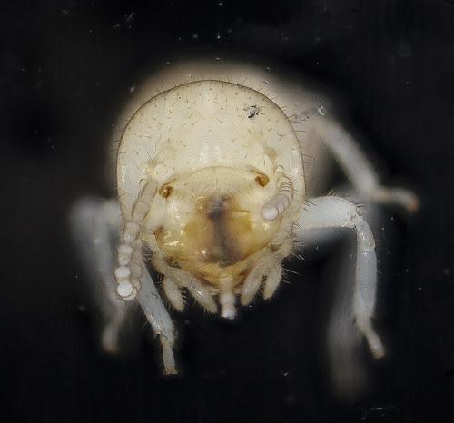 Reticulitermes flavipes, U, face_2012-10-17-11.20