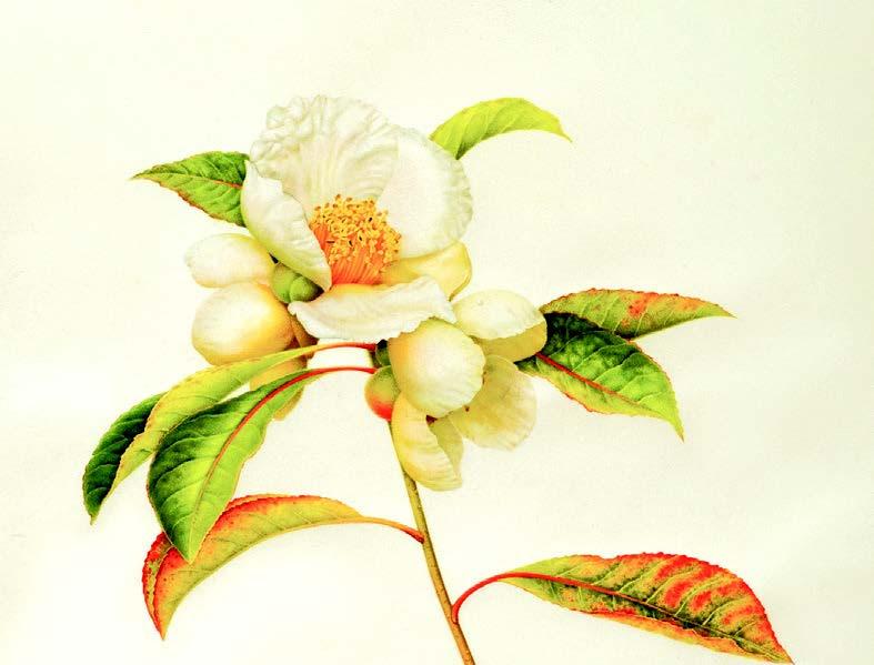 Franklinia altamaha, (C) Karen Kluglein