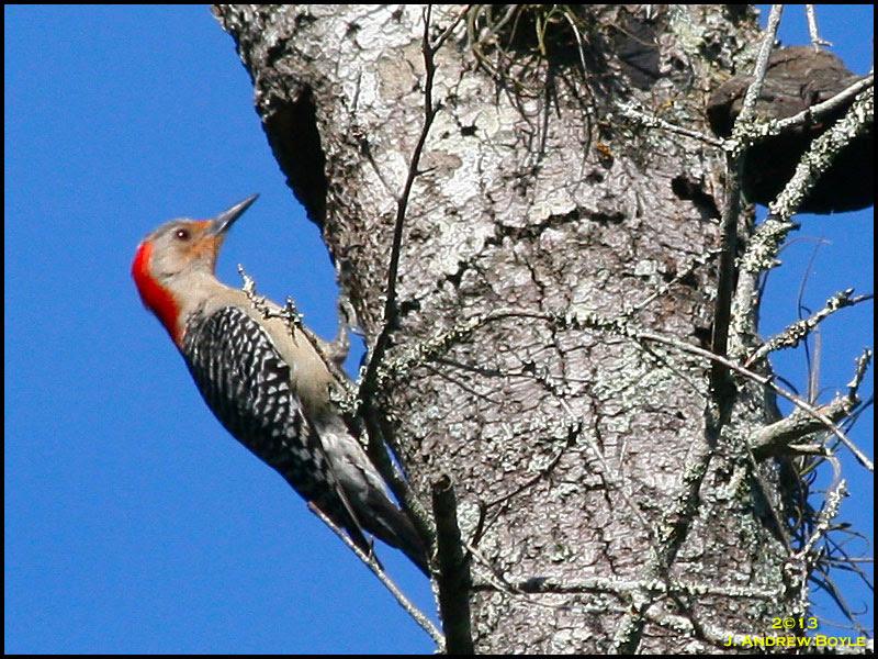 Red-bellied Woodpecker,