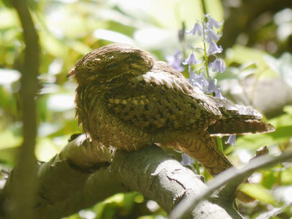 Ed Gaillard: birds &emdash; Chuck-Will's-Widow Central Park