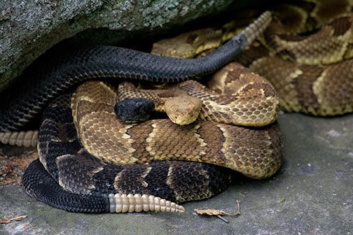 "Like throughout its historical east of the Mississippi range, the Eastern Timber Rattlesnake is either a species of special concern or outright endangered...........""Pennsylvania experienced a major decline in its timber rattlesnake population during recent decades attributed mainly to unrestricted commercial and sport hunting, den raiding, and land development""...........""That said, the Keystone State's (Pennsylvania) 2.2 million acres of  State Forest lands provide the largest block of timber rattlesnake habitat remaining in the Northeast"". ............""The frequency of encounters between  humans and timber rattlesnakes increases  in July and August when male snakes actively seek mates""................ ""Mature males may  travel up to six miles trying to intersect the scent trails of receptive females"".................. ""This activity often coincides with hot, dry summer weather leading to the misconception that  rattlesnakes are ""coming down for water""....................  ""Near the end of August the pregnant females give birth to live, fully-developed  young""............ ""Within about 10 days of birth, the  newborn snakes shed their skins and  disperse for several weeks of foraging and  dodging predators"".............. ""Rattlesnakes usually return to the  same den each year throughout their lifetime"".............. ""Youngsters follow the adults' scent  trails to denning sites by mid-October""...........Note that Timber Rattler's(and all rattlesnakes) want contact with us even less than we want contact with them"".......... ""They generally go out of their way to avoid us, or at least remain motionless and hidden until we pass""............... ""Only when they feel cornered or threatened will most snakes even feign aggression""...........  ""Avoid the snake for a few minutes""..........""When it feels the threat has passed, the snake will go back to what it was doing before your encounter, either slithering along on its way, relaxing back into a basking spot or taking up an ambush position to await some small prey animal"""