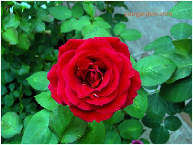Gardening Tips to Grow and Maintain Rose Bushes