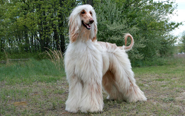 Afghan Hound Breed Information