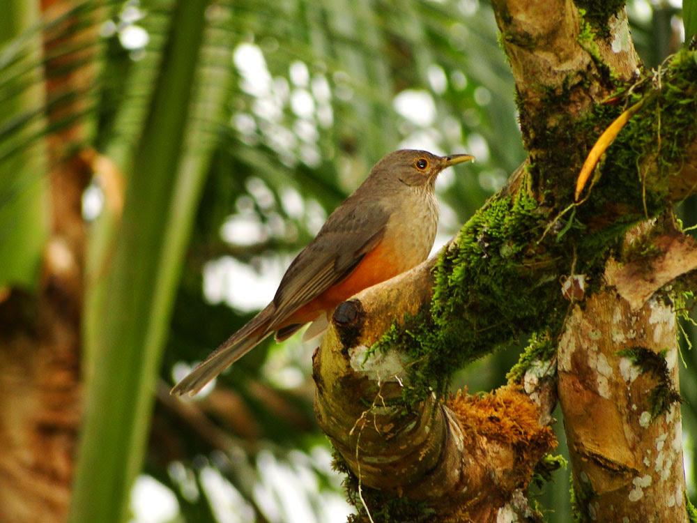 Figura-2-Sabia-laranjeira