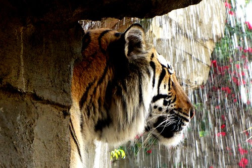 IMG_7107a_Bengal_Tiger_Behind_Waterfall