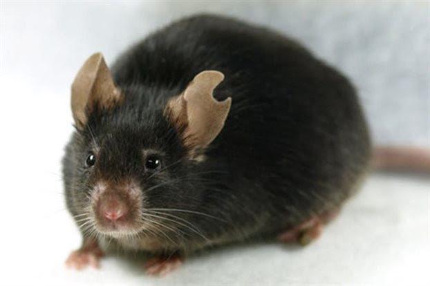 Κλωνοποίηση ποντικού από μια... σταγόνα αίμα