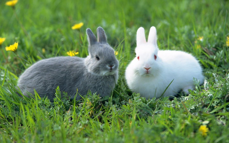 かわいいウサギの壁紙 25 1440x900 壁紙ダウンロード かわいい