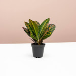 Croton Petra for Delivery | Indoors Plants | Easy to Care - Lively Root