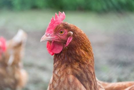 USTR Announces New Access for U.S. Poultry Exports to Guatemala | Scarbrough International