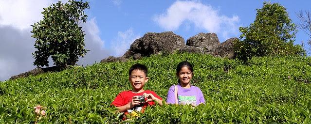 ~tea plantation~