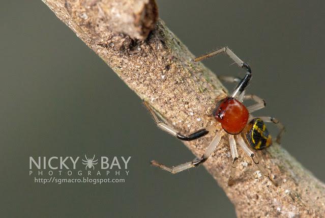 Crab Spider (Camaricus maugei) - DSC_6280