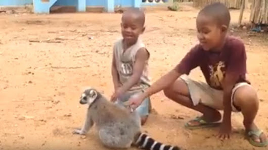Kids Made The Mistake Of Petting This Lemur, Now Watch What It Does When They Try To Stop! - Faithreel.com