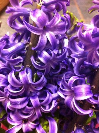 iPhone Hyacinths