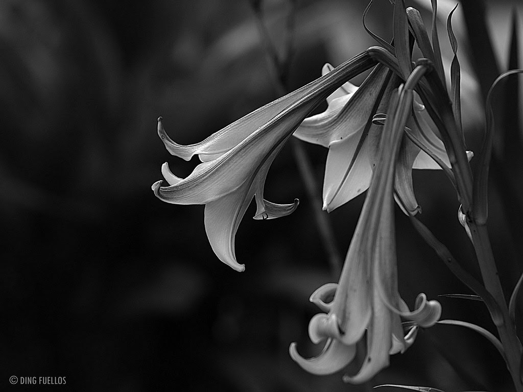 Lilies in mono